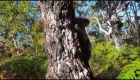 Koala Can't Wait to Scale His Tree and Get Back Into the Wild