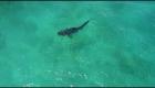 Tiger Shark Spotted Near Hawaii Coast