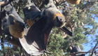 An Australian Town Is Being Overrun By Giant Bats