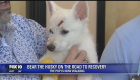 Badly beaten Husky puppy continues on road to recovery