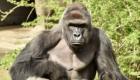 Cincinnati Zoo Kills Gorilla To Save Boy Who Fell Into Its En...